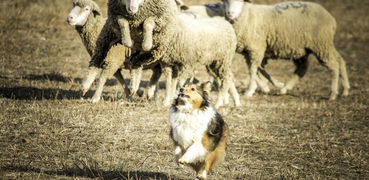 Chien de berger avec son troupeau en arrière plan